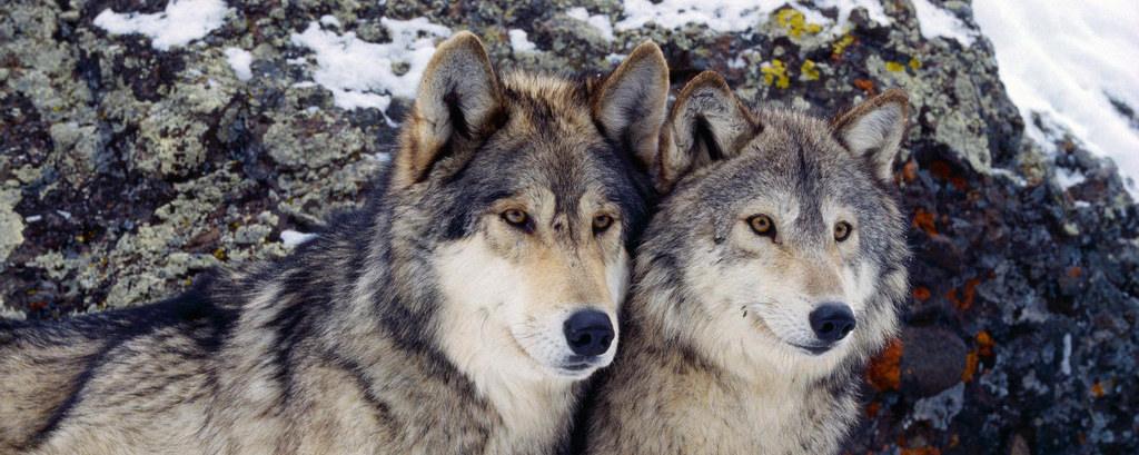 thegoodwolf